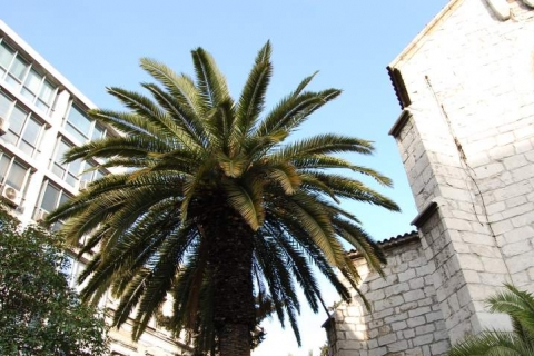 Palm tree at Filellinon Street